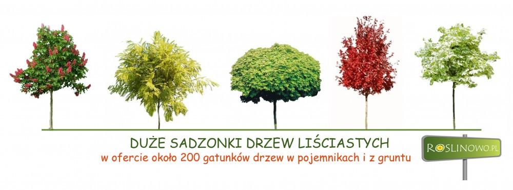 Duże sadzonki drzew