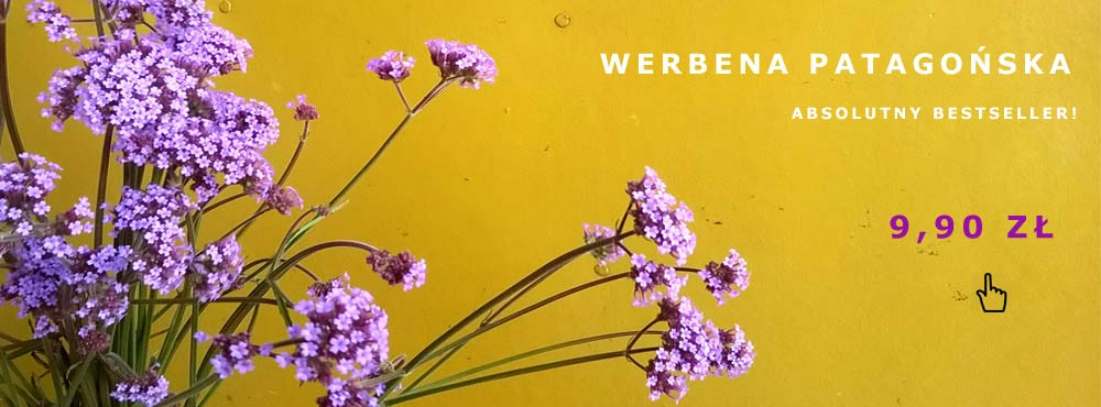 Polecana bylina - Werbena Patagońska