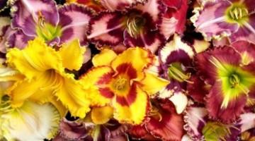 Liliowce - rośliny dla zapracowanych