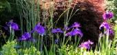 Błękit w ogrodzie - byliny o kwiatach w niebieskim kolorze.