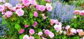 Dlaczego byliny pachną? Top 10 pachnących kwiatów ogrodowych.
