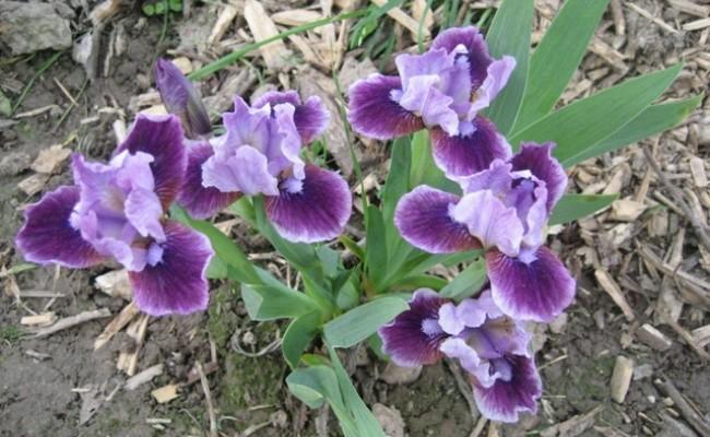 Irys bródkowy niski 'Expectation' (Iris x barbata)