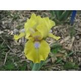 Irys bródkowy niski 'Prank' (Iris x barbata)