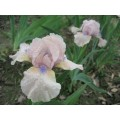 Irys bródkowy niski 'Romy' (Iris x barbata)