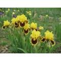 Irys bródkowy niski 'Ultimate' (Iris x barbata)