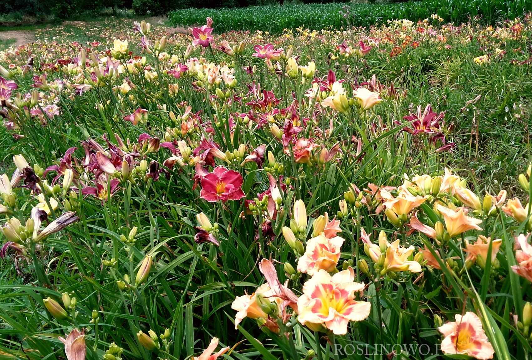 Liliowiec ogrodowy sadzonki z gruntu