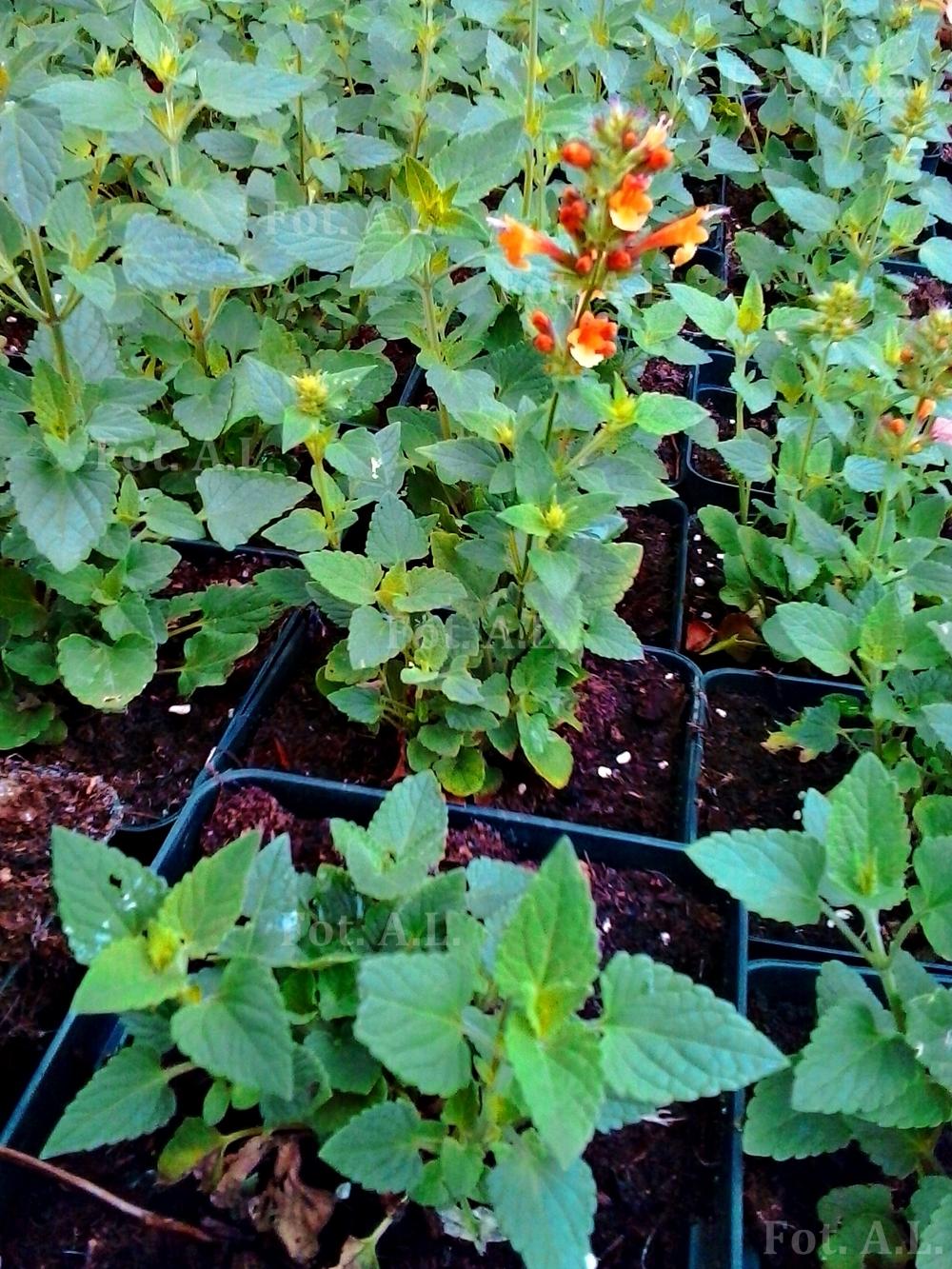 agastache kudos mandarin - phenomenal perrenial of sun parts of garden