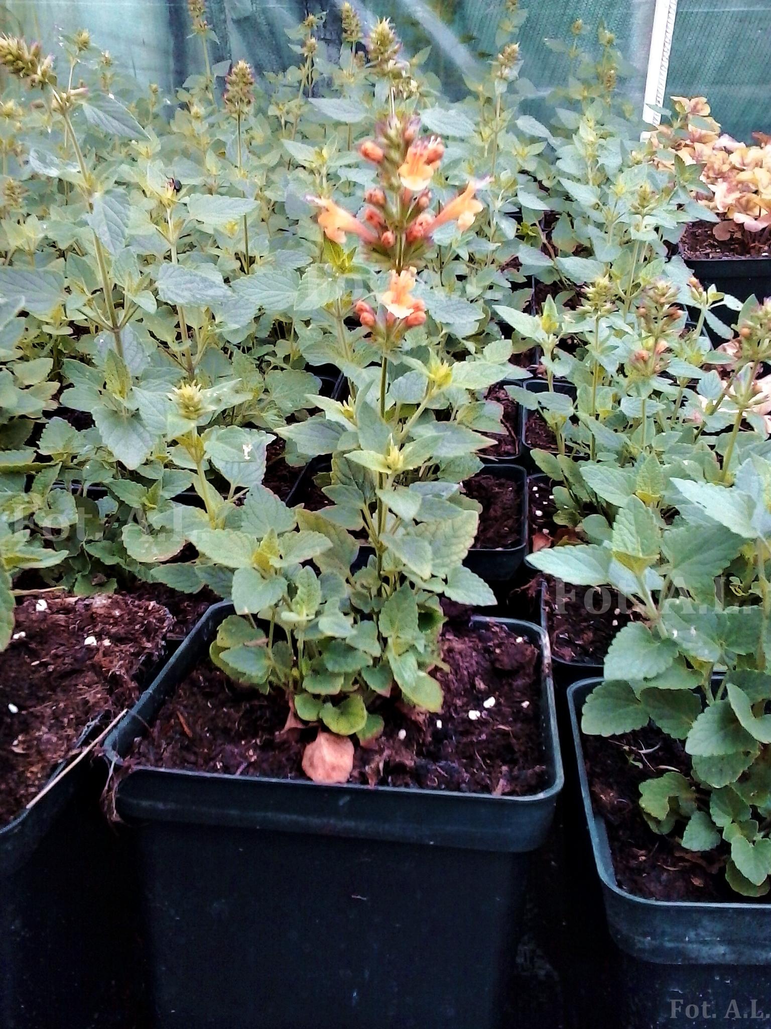 kłosowiec mieszańcowy kudos mandarin - wieloletnia bylina o miododajnych kwiatach.