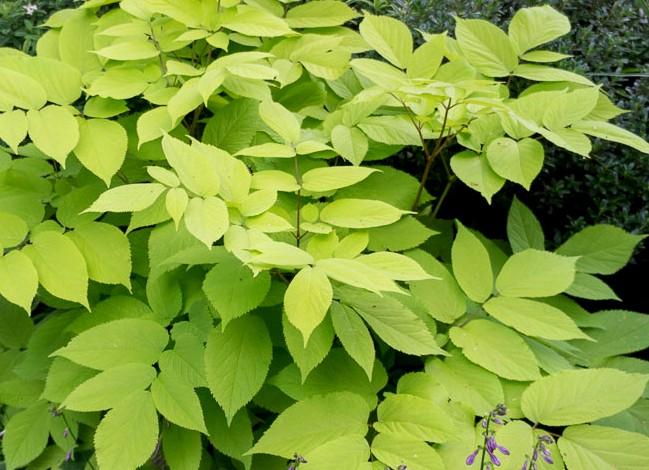 aralia sercowata sun king - bylina o dekoracyjnych żółtych liściach