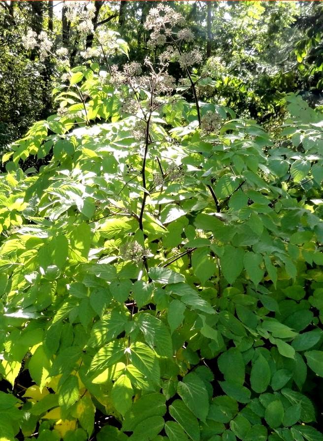 aralia sun king - bylina ogrodowa do cienistych zakątków