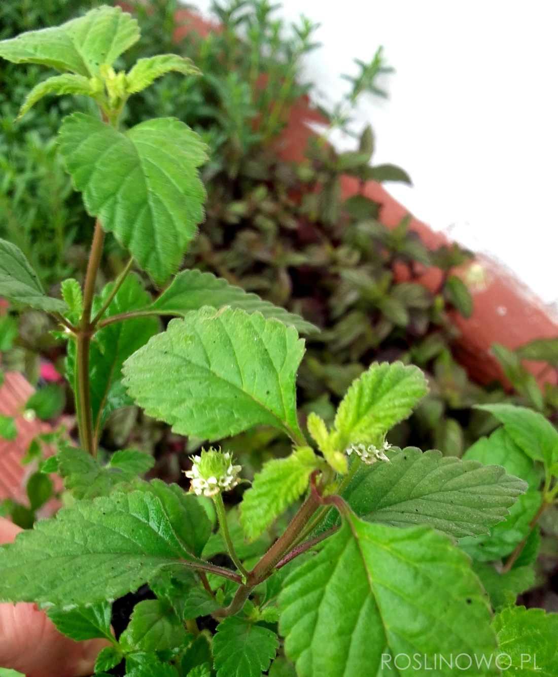 azteckie ziele - słodka roślina zielna do uprawy domowej