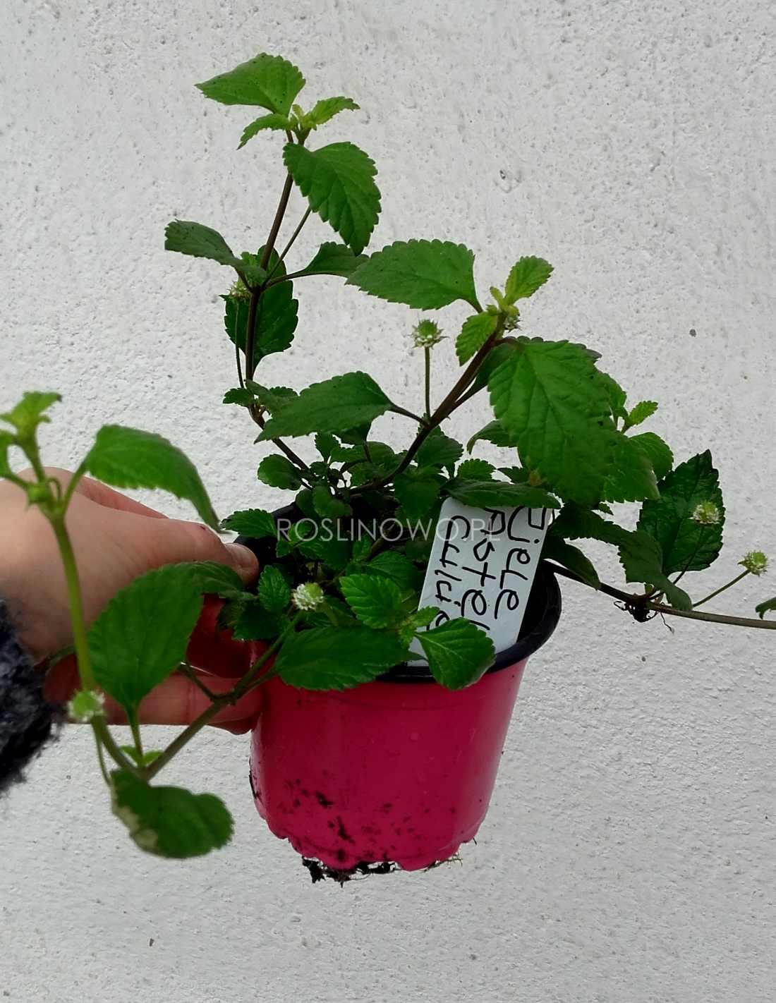 ziele azteków - roślina zielna o właściwościach słodzących