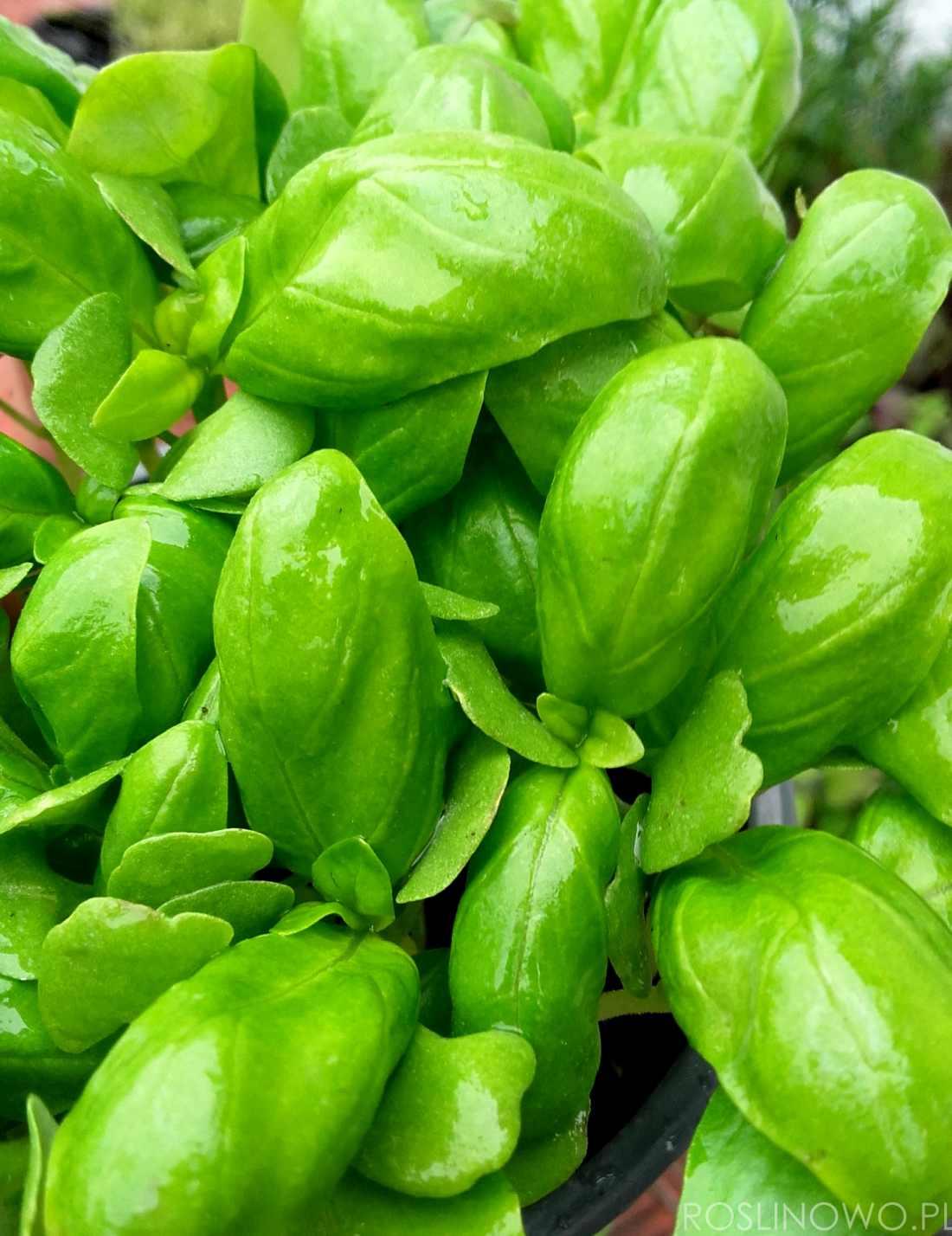 Bazylia pospolita - roślina zielna o pikantnym smaku i właściwościach leczniczych