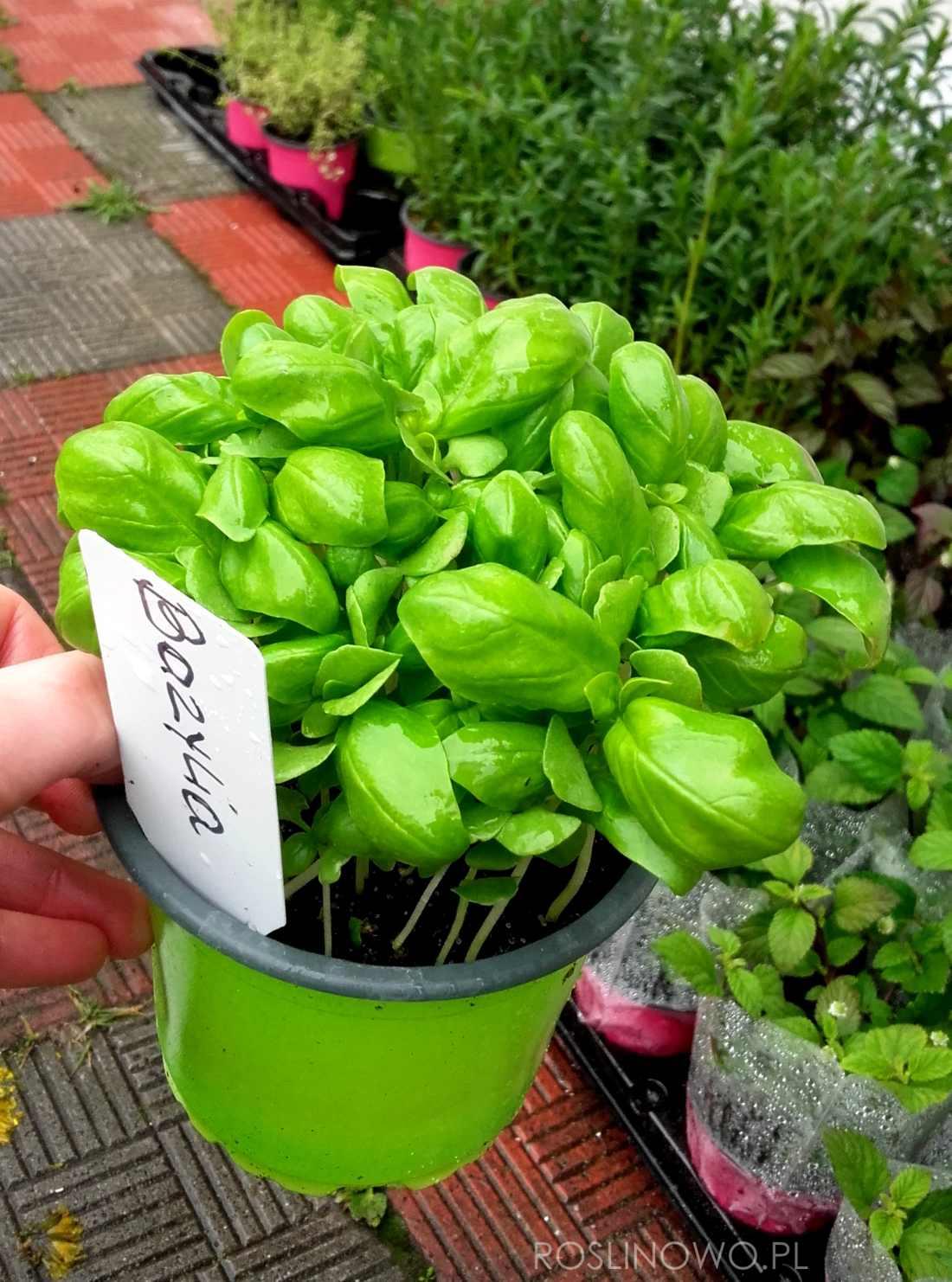 Bazylia - znana włoska przyprawa oraz roślina zielna do ogródków ziołowych jak również na balkony i tarasy