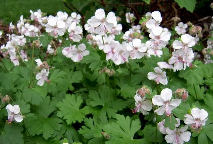 bodziszek kantabryjski biokovo - wieloletnia roślina ogrodowa o pięknych białych kwiatach i dekoracyjnym pokroju liści