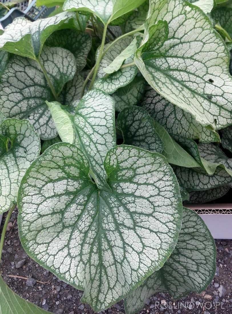 brunera wielkolistna alexander's great - zakwitająca wiosną bylina o ozdobnym srebrzystym ulistnieniu