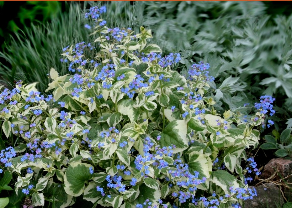 brunera wielkolistna variegata - bylina ogrodowa na stanowiska półcieniste