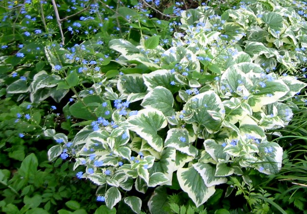 brunera variegata - długowieczna bylina kwitnąca wiosną na niebiesko