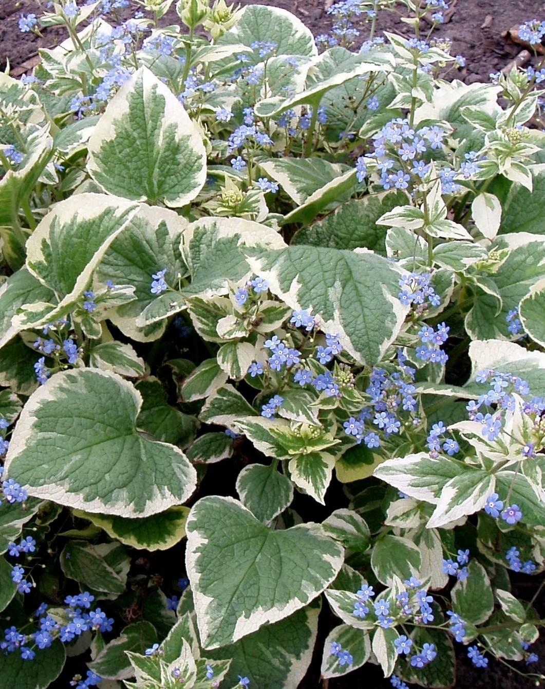 brunera wielkolistna variegata - wieloletnia roślina ogrodowa o dekoracyjnych liściach i  niebieskich kwiatach na rabaty wilgotne i półcieniste