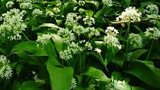 czosnek niedźwiedzi - roślina jadalna, ozdobna i lecznicza o wiosennym kwitnieniu