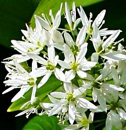allium ursinum - bylina o białych kwiatach na stanowiska cieniste