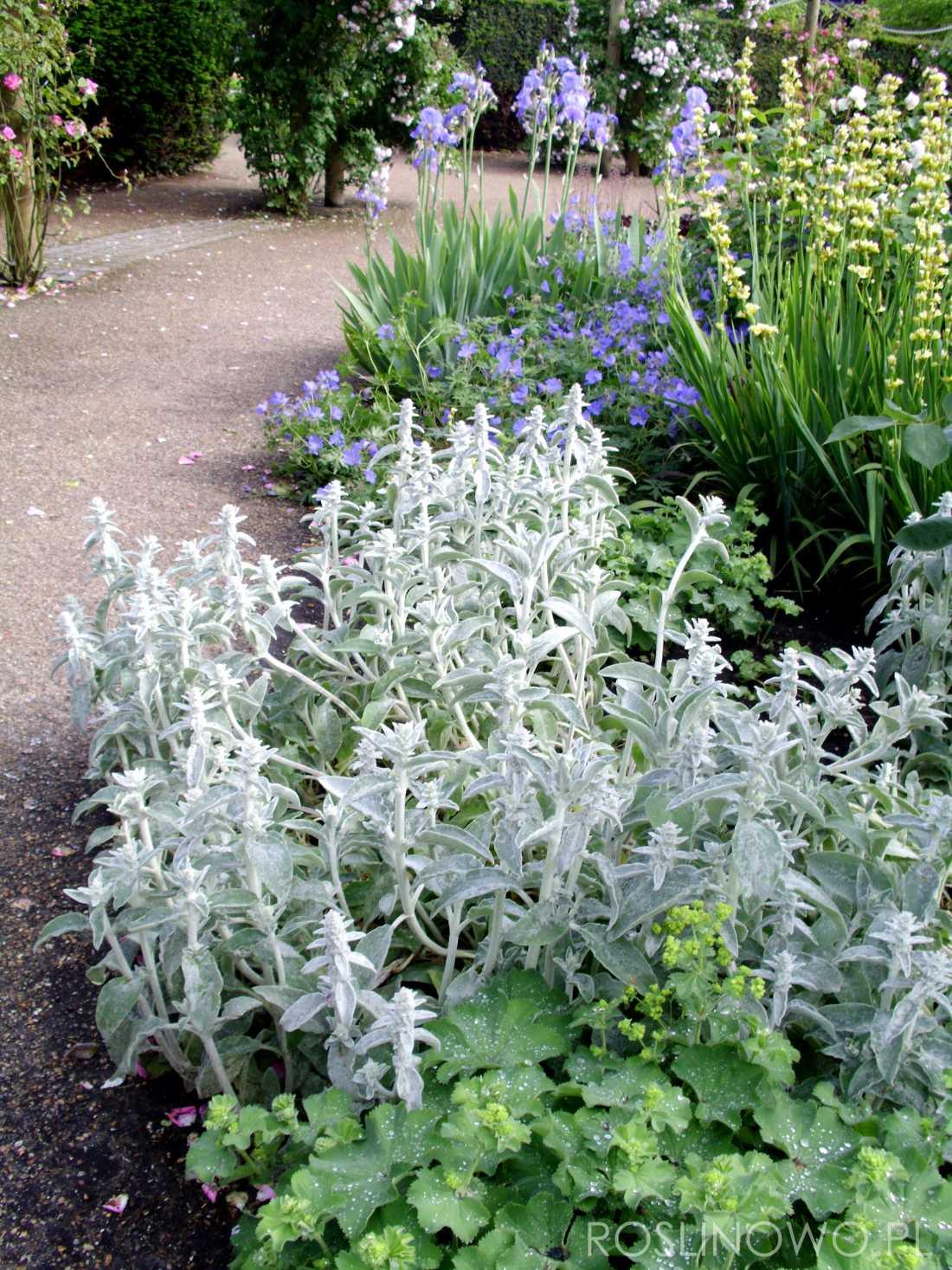 czyściec wełnisty - bylina o srebrzystych liściach