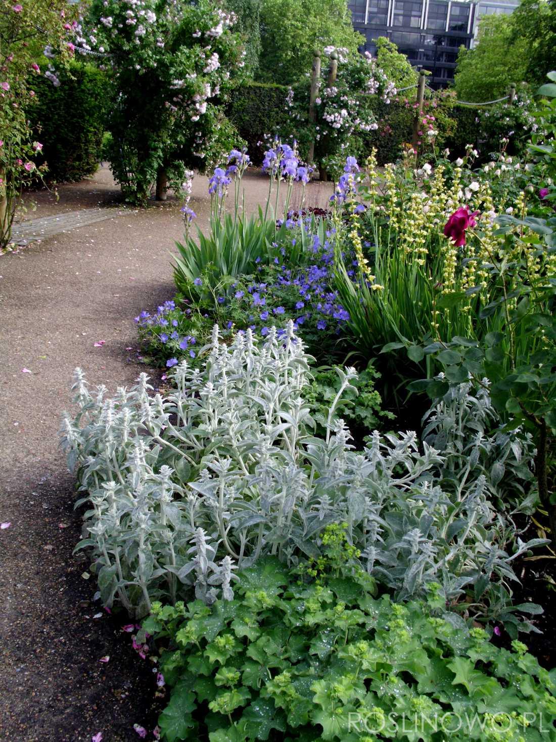 czyściec wełnisty silver carpet - bylina o miododajnych różowo-fioletowych kwiatach i małych wymaganiach