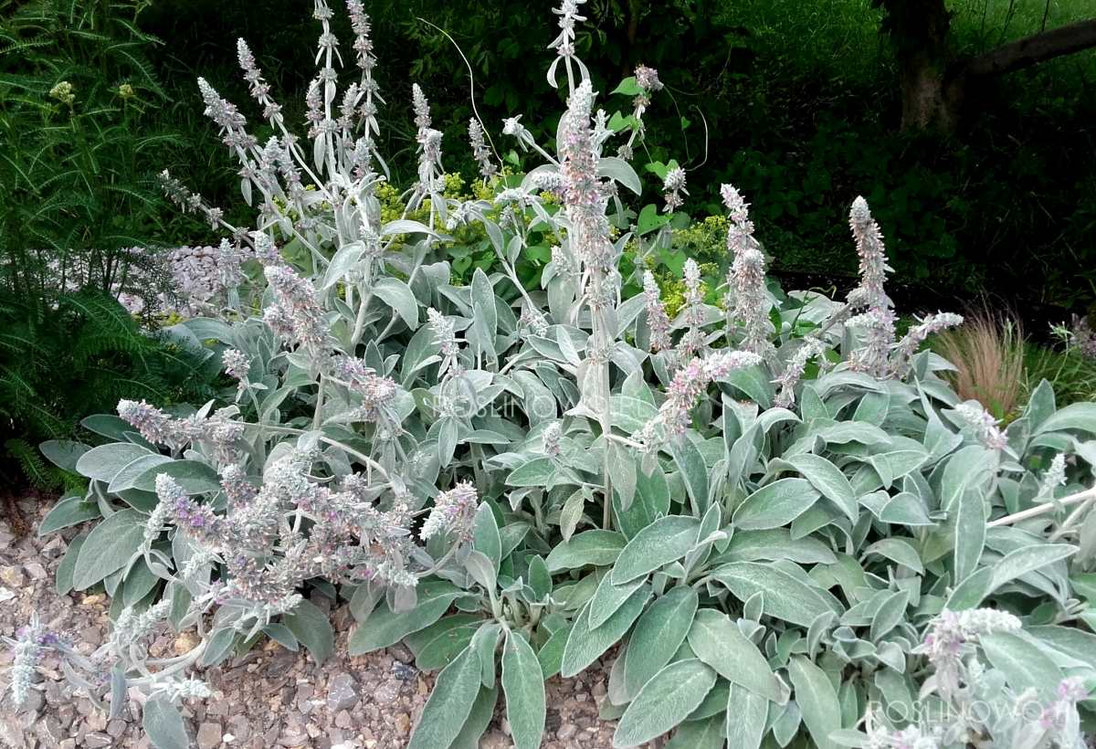 czyścic wełnisty bylina o srebrzystych liściach pokrytych kutnerem.