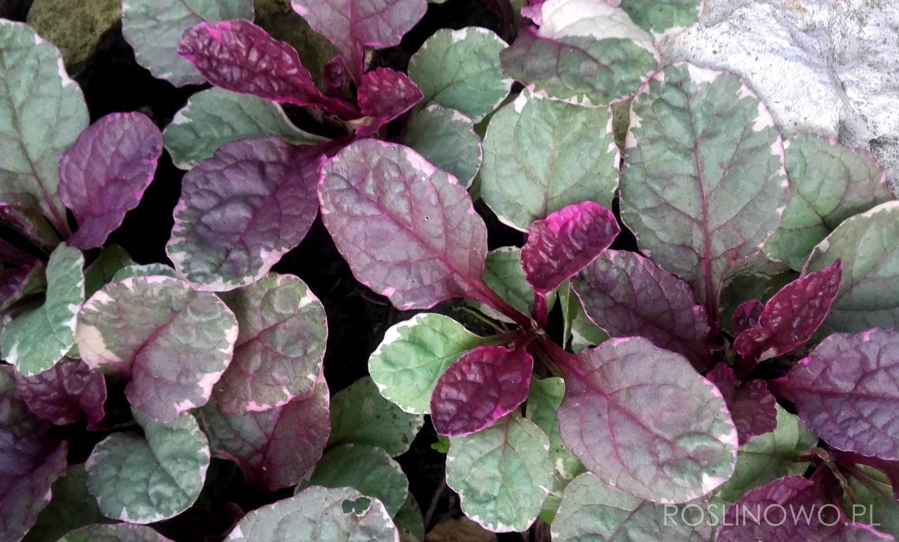 dąbrówka rozłogowa burgundy glow - bylina ogrodowa o bardzo dekoracyjnych liściach i miododajnych kwiatostanach