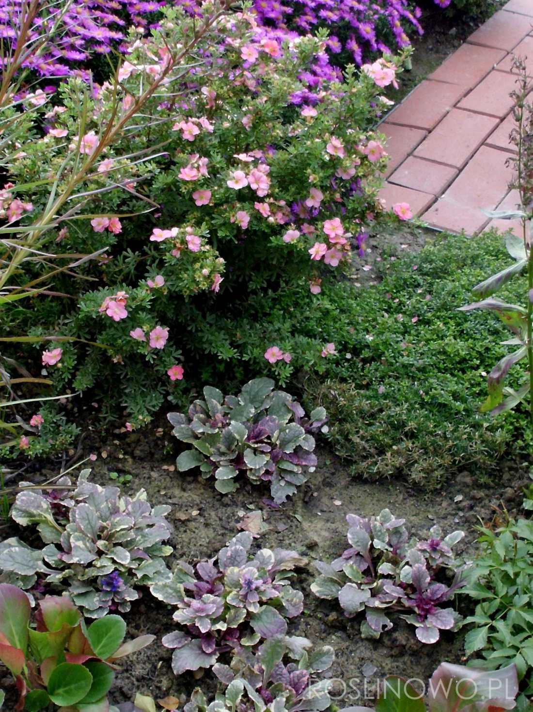 dąbrówka burgundy glow na pierwszym planie rabaty bylinowej