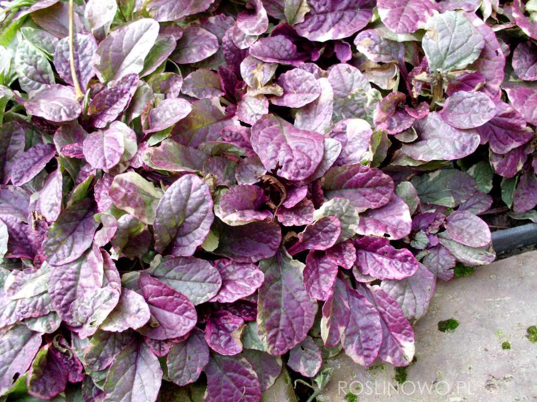 dąbrówka rozłogowa burgundy glow - kolorowa bylina płożąca do półcienia