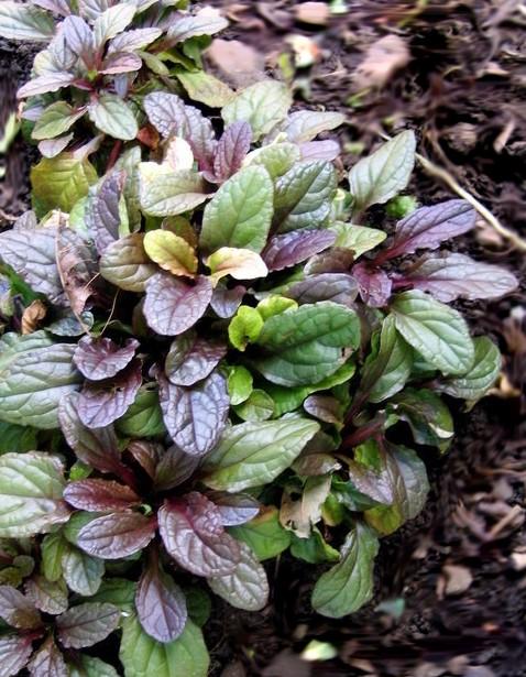 dąbrówka rozłogowa mahogany - efektowna bylina o purpurowych dekoracyjnych liściach