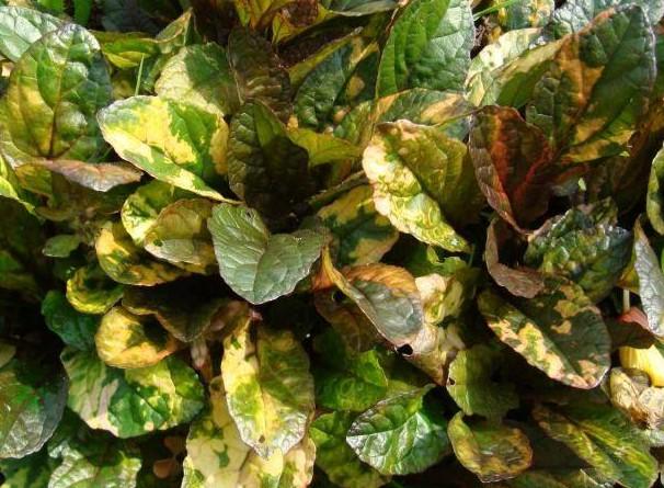 dąbrówka rozłogowa rainbow - bylina o dekoracyjnych liściach na rabaty wilgotne