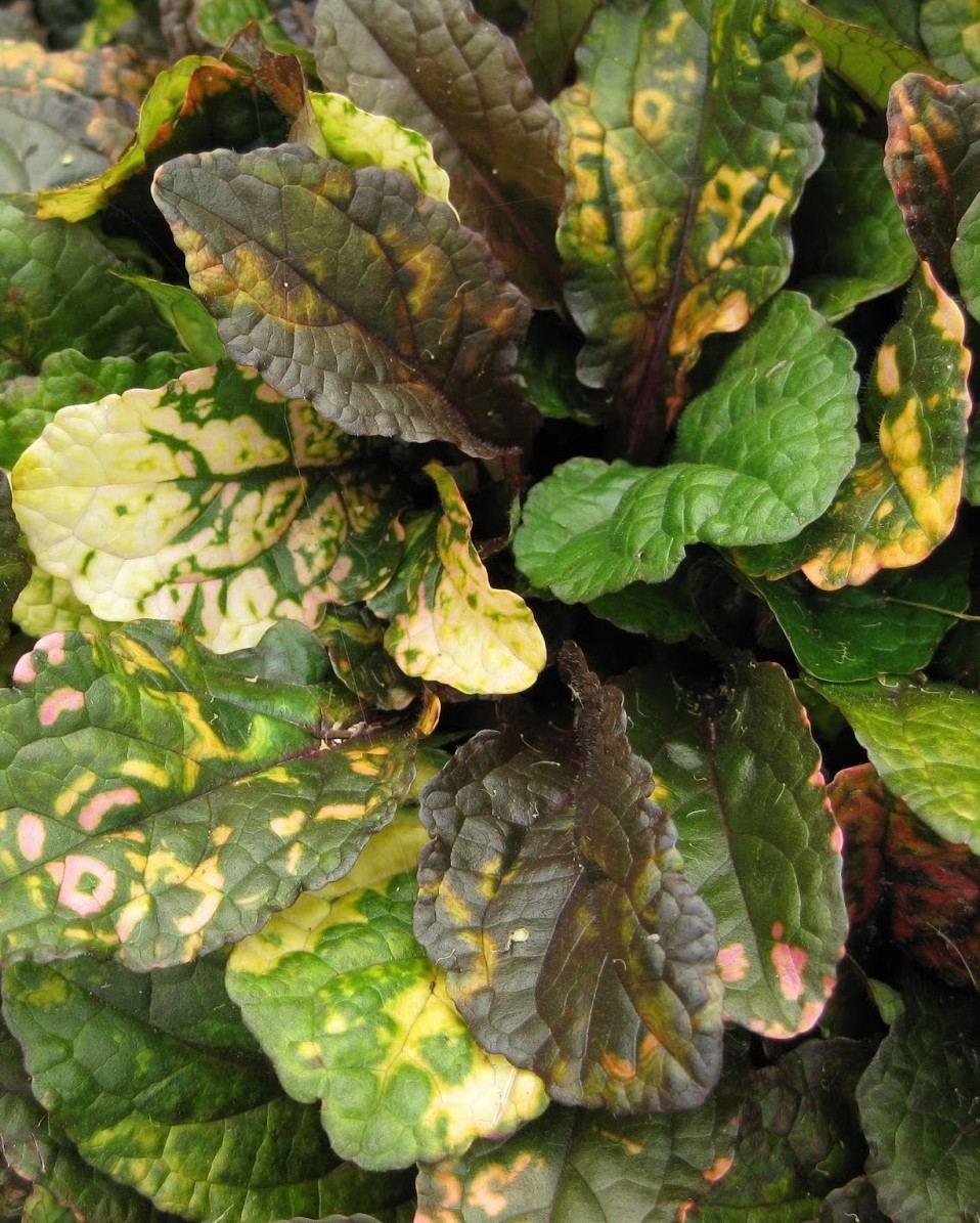 dąbrówka rainbow - zadarniająca roślina wieloletnia o kolorowych liściach