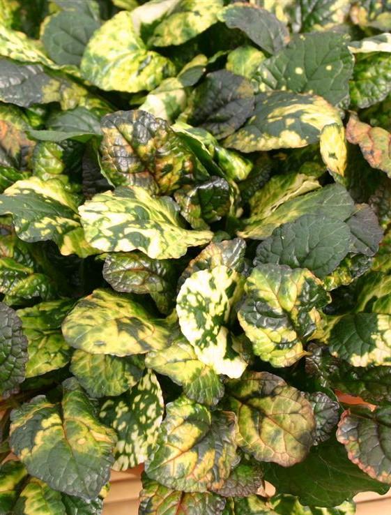 dabrówka rozłogowa rainbow - okrywowa bylina ogrodowa do założeń naturalistycznych i leśnych