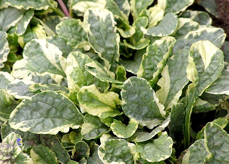 dąbrówka variegata - roślina wieloletnia o dekoracyjnych liściach do słońca i półcienia