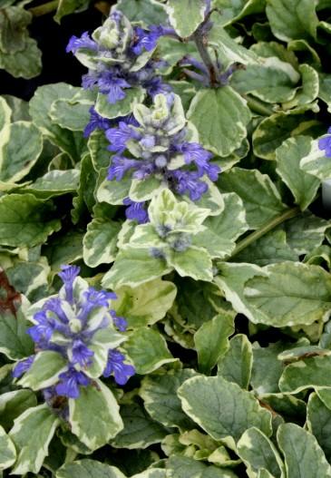 dąbrówka rozłogowa variegata - dekoracyjna bylina o dwubarwnych liściach i fioletowych kwiatostanach