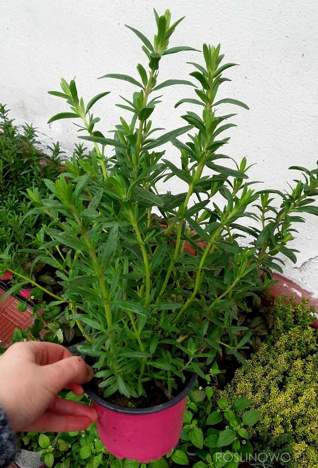 estragon - wieloletnia roślina ziołowa i przyprawowa na stanowiska słoneczne i półcieniste