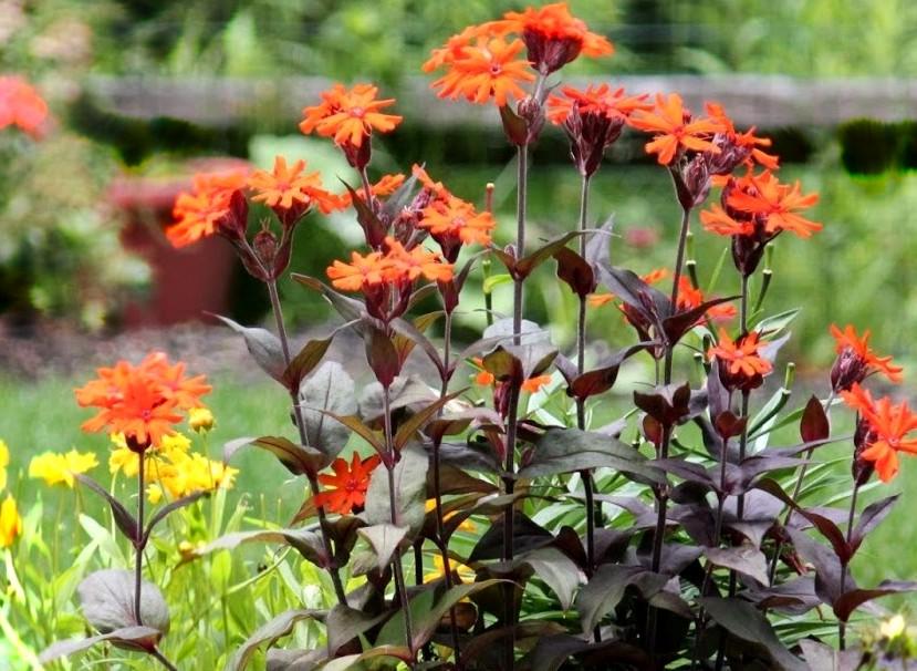 Firletka Vesuvius - pomarańczowo kwitnąca bylina na słoneczne rabaty