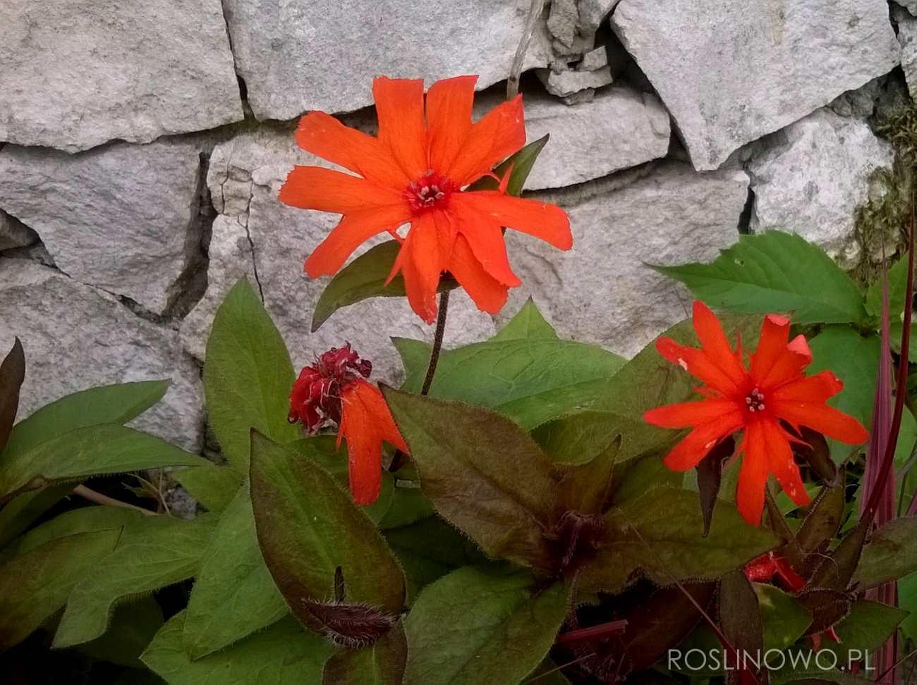 pomarańczowy kwiat firletki Vesuvius