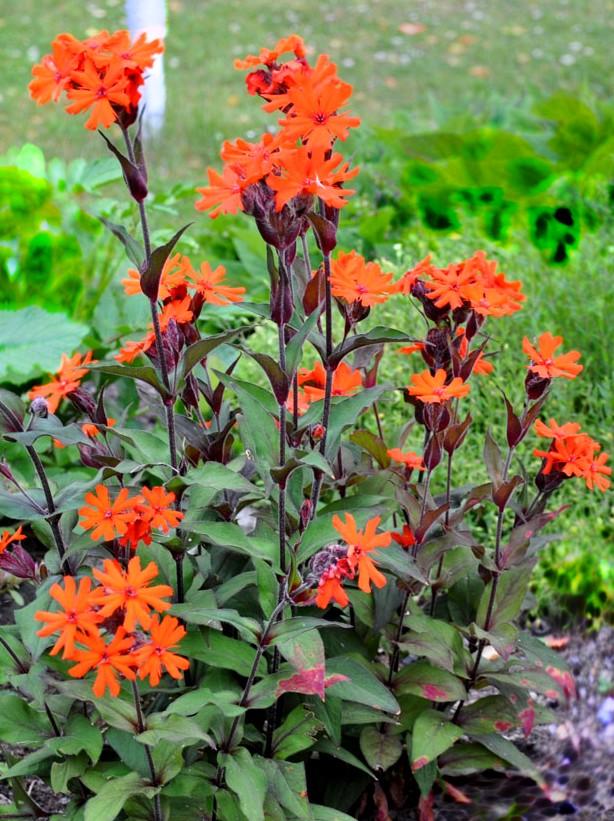Firletka Vesuvius - bylina ogrodowa na skalniaki i ogrody żwirowe