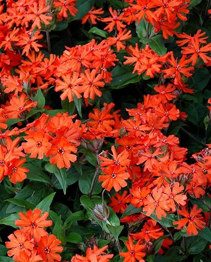 Firletka Vesuvius - ozdobna bylina rabatowa o małych wymaganiach