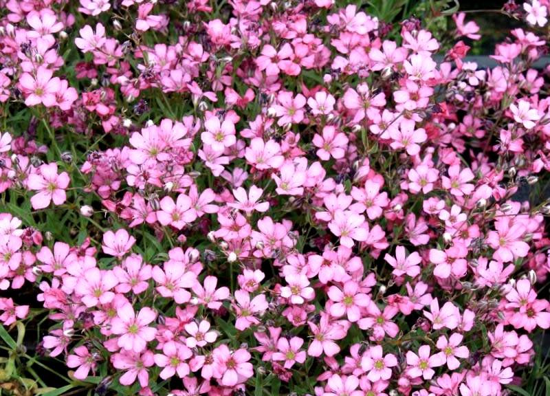 Gipsówkaa Rosea - wieloletnia ozdobna roślina ogrodowa