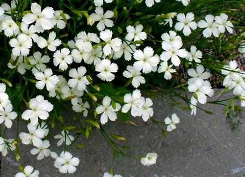 Goździk kropkowany Albus - niska bylina o białych kwiatach
