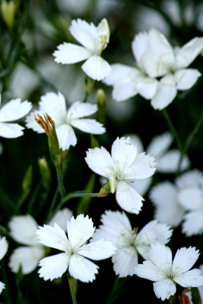 Goździk kropkowany Albus - bylina stanowisk słonecznych