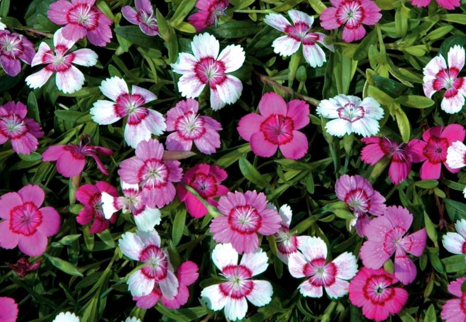 goździk kropkowany micro chips - wieloletnia bylina o aromatycznych i wielobarwnych kwiatach
