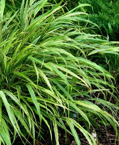 hakonechloa macra albo striata - wieloletnia trawa ozdobna tworząca gęste kępy