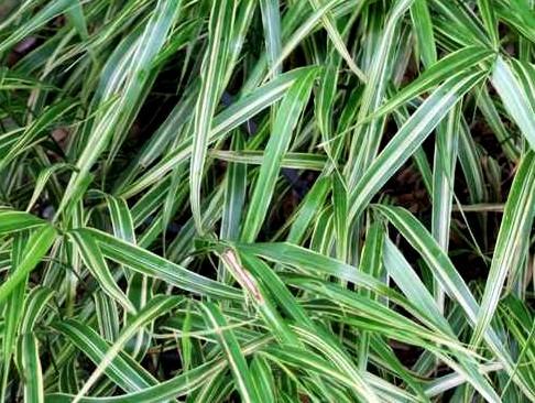hakonecchloa albo striata - ozdobna trawa kępiasta