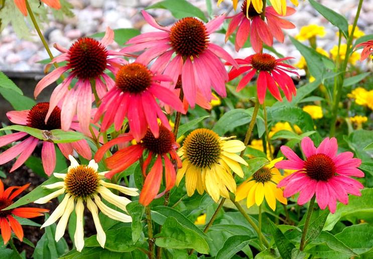 Jeżówka color mix - kolorowa bylina na stanowiska słoneczne