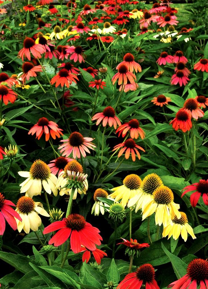 Jeżówka color mix - wieloletnia roślina ogrodowa o kolorowych kwiatach